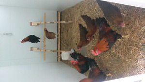 Pure bred Chicken Trios for sale