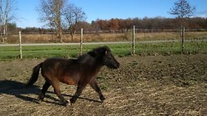 Im looking for a partner.. AMHR Miniature Gelding