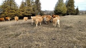 Limo cows w/ CharX calves by side Peterborough Peterborough Area image 5