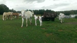 APHA PURE WHITE MARE AND PAINT FILLY