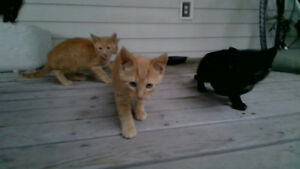 4 Kittens For Sale $20 each 10 weeks old  PICK UP ONLY