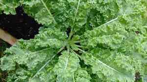 Kale Kawartha Lakes Peterborough Area image 1