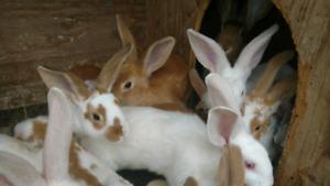10 week old Rabbits