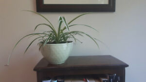 House Plants (Spider plants and House Ivy)