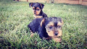 Loving Pure Breed Yorkshire Terrier puppies (Yorkie)