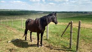 Broke to ride mare