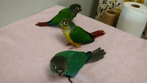 Hand Fed Baby Green Cheek Conures (only one left)