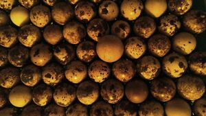 Fertile Coturnix Quail Eggs