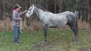 2010 REG QUARTER HORSE GELDING