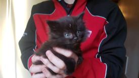 Black Fluffy Kitten