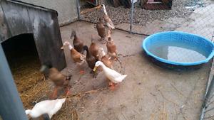 Duck hatching eggs (Indian runner)