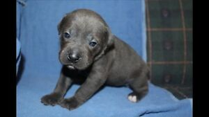 Purebred blue cane corso puppies