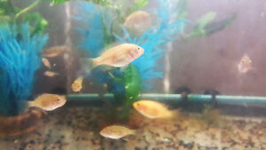 Tilapia Fish For Sale | Fry/Fingerling | Canada Wide Shipping