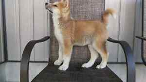 Akita inu puppies ONLY 2 left!