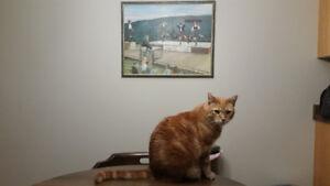 Lost orange tabby cat Bankside dr near Highland Rd