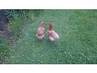 Egg-Laying Chickens