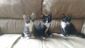 Adorable, friendly, playful 8 week old kittens-litter trained