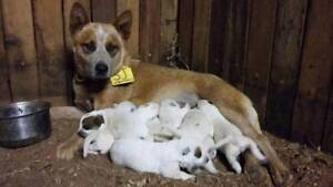 Purebred Red cattle dog pups Curlewis Gunnedah Area Preview