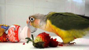 ❤★❤ Adorable,Tame CONURE Babies With CAGE❤★❤ Stratford Kitchener Area image 5