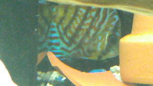 2 beautiful discus fish for sale