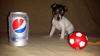 CKC Registered - Toy Fox Terrier Puppies