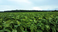 Looking for Tobacco Farm labourers