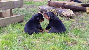 Rotti pups for furever homes