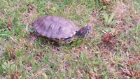Turtle couple red eyes, Alert and healthy Turtle for sale Toront