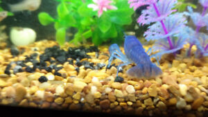 ELECTRIC BLUE CRAYFISH BABIES FOR SALE~!