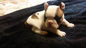 Pre-selling two french bulldog puppies GIRL LEFT