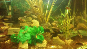 african cichlids for sale differnt kinds and sizes 2.50 and up Windsor Region Ontario image 2