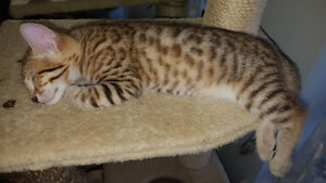 Generation F4 Bengal Kittens - Snows & Golden Browns available