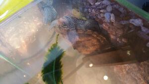 Mississipi map turtle