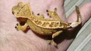 Selling all my Crested Geckos Kitchener / Waterloo Kitchener Area image 7