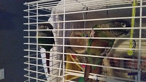 Pair of young green cheek Conures
