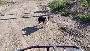 Border Collie Male Needing to be Rehomed Strathcona County Edmonton Area image 9