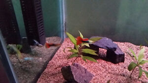 Guppies for sale! Please read