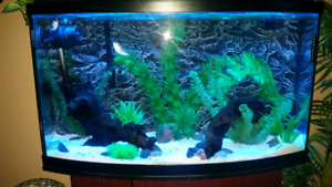42 gallon bow front aquarium with green spotted puffer.