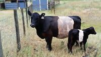 Cow Calf Pair For Sale