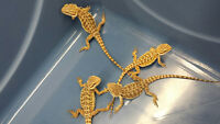 Beautiful leather back bearded dragons