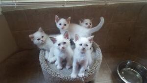 Gorgeous TICA Ragdoll Kittens