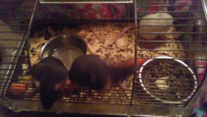 Mice and rats for sale