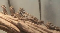 Baby bearded dragon pair