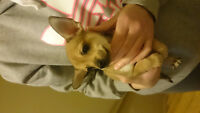 Chihuahuas looking for a good home **
