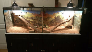 TANK ..×2 BEARDED DRAGONS..SELF TIMMER. Windsor Region Ontario image 4