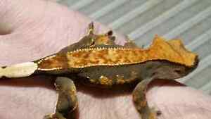 Selling all my Crested Geckos Kitchener / Waterloo Kitchener Area image 9