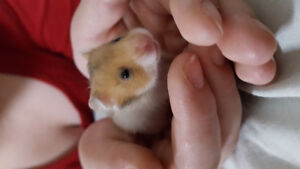 Baby Syrian hamsters
