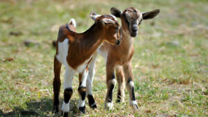 Bottle baby goats or lambs