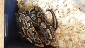 Yb female, male bumblebelly and a tarantula for sale London Ontario image 1