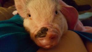 Micro cochon